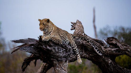 Leopard entspannt auf dem Baum