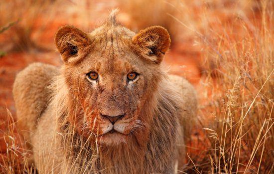 Löwen bei Dämmerung
