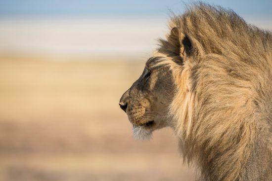 Seitliche Nahaufnahme Löwenkopf