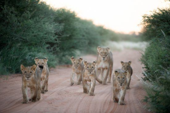 Cachorros de león en safari