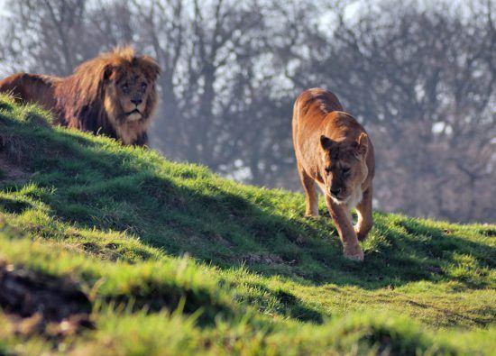 Leones corriendo sobre la sabana
