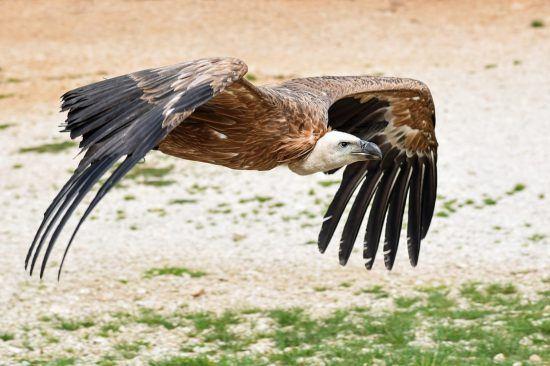 Fliegender Geier Nahaufnahme