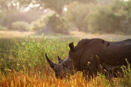 Rinocerontes com pássaros em suas costas durante safári em Chief's Island, no Botsuana