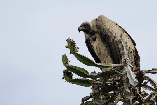 Wollkopfgeier auf Baum