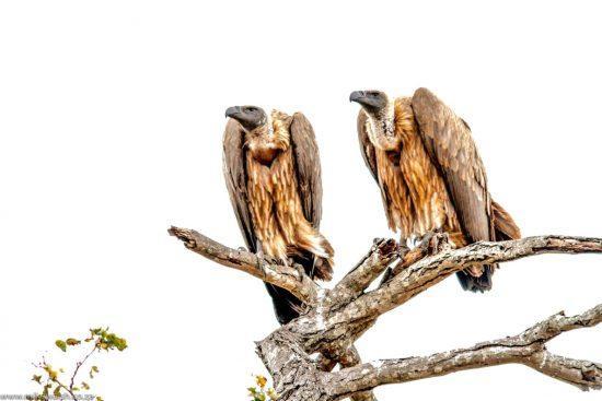 Zwei Geier auf Baum