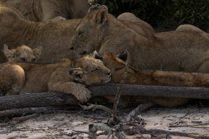 Lionceau endormi à Sabi Sand