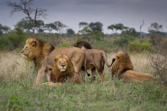 Ein Rudel männlicher Löwen im Sabi Sand Game Reserve