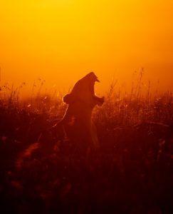 Lionne dans la savane au soleil levant par Clement Kiragu, gagnant d'Africa's Photographer of the Year 2017