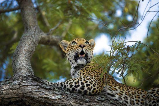 Leopard auf einem Baum nahe der Silvan Safari Lodge