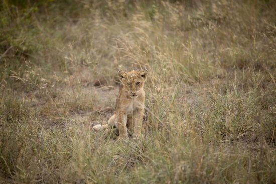 Quelle météo au Parc Kruger | Lionceau