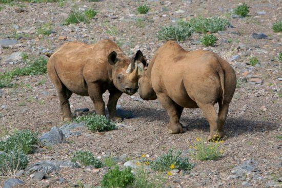 Zwei Spitzmaulnashörner in der kargen, felsigen Landschaft des Damaralands