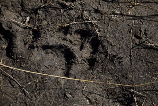 A pegada de um leão impressa na lama é fotografada durante safári a pé
