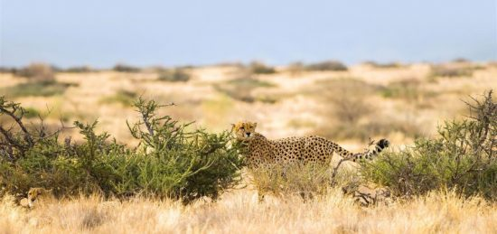 Gepard neben einem Busch in einer trockenen Graslandschaft