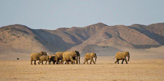 Eine Elefantenherde zieht durch eine Wüstenlandschaft