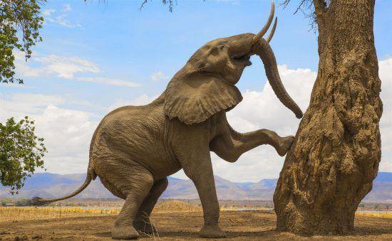 Elefante tratando de obtener comida del árbo