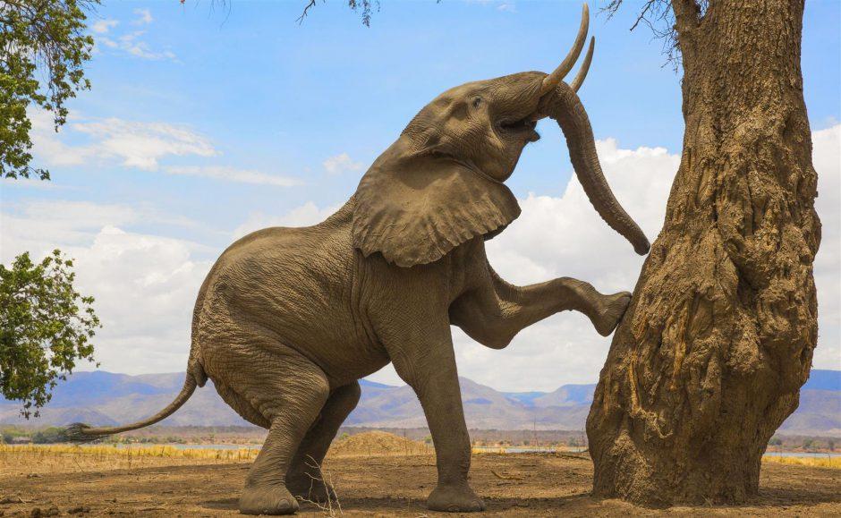 O famoso elefante procurando frutas em Mana Pools