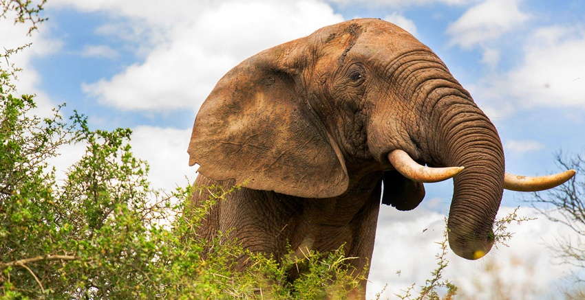 """Conhecido como """"gigante gentil"""", o elefante integra a lista dos Big Five da África"""