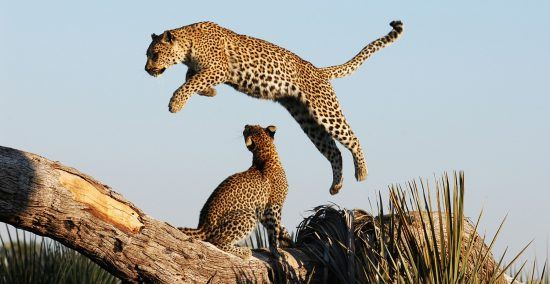 Leopardo mostrando su poderoso salto