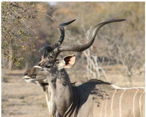 animaux d'afrique : grand koudou