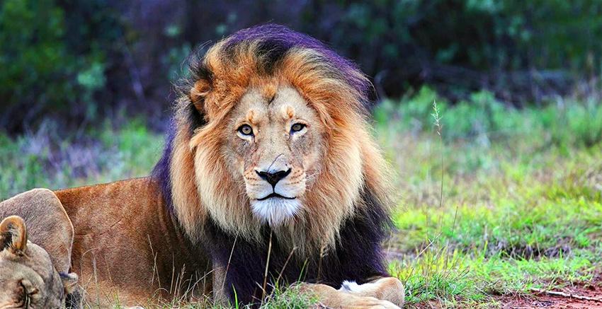 Além de ser o rei da selva, o leão é um dos integrantes dos Big Five da África