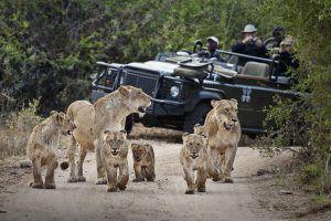 Famille de lion sur une piste de 4x4 au Kruger
