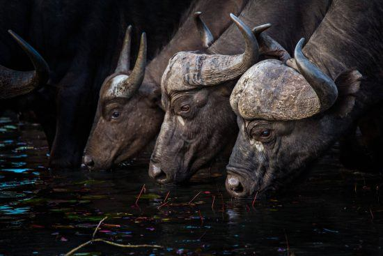 Búfalos bebiendo del arroyo.