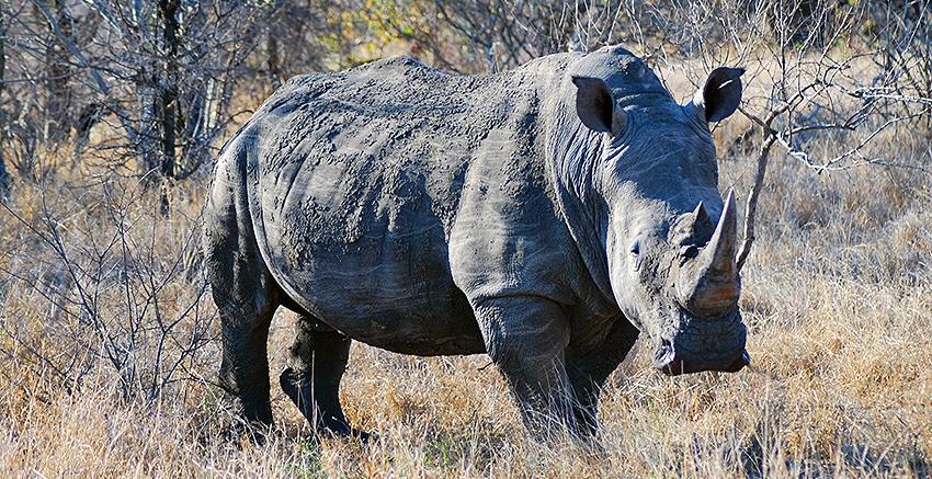Rinocerontes são extremamente cobiçados por caçadores furtivo por conta de mitos acerca de seu chifre de queratina