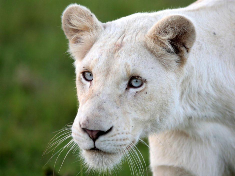 Des lodges de qualité pour les budgets plus limités: Lion blanc de Timbavati