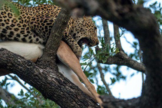 Léopard et sa proie en haut d'un arbre