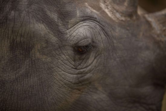 Close-up of a rhino's eye taken for Wildlife ACT.