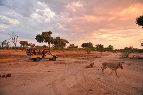 Lions walking past a a game vehicle in Hwange National Park