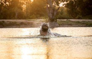Hippopotame qui surgit d'un étang, Silvan Safari, Réserve de Sabi Sand, Parc National Kruger