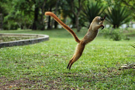 ein springendes Lemur