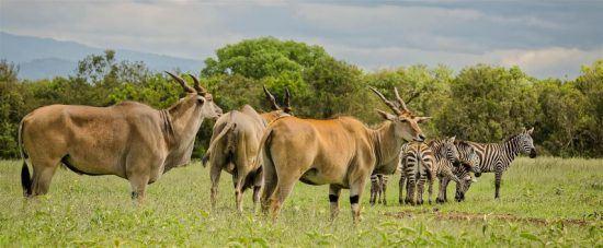 Antilopen und Zebras in einer grünen Graslandschaft im Aberdare - Nationalparks in Kenia