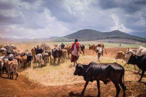 Troupeau de bétail maasaï
