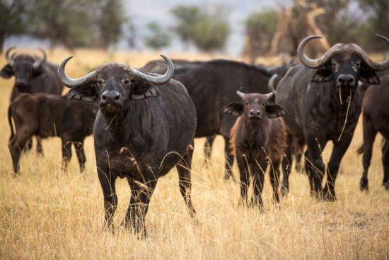 El búfalo, ejemplo de fuerza y potencia física