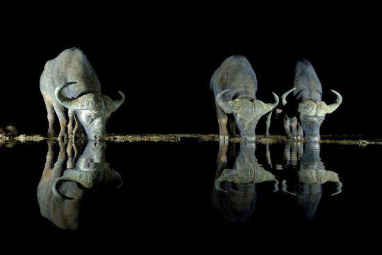 Drei Büffel trinken nachts an einem Wasserloch - Sichtung auf einer nächtlichen Pirschfahrt in Afrika