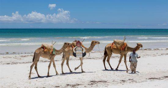 drei Kamele und ein Mann am Strand