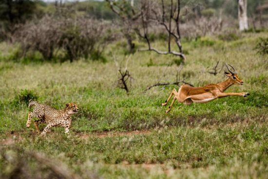 Gepard jagt Impala im Krüger Nationalpark - einer der beliebtesten Nationalparks Afrikas