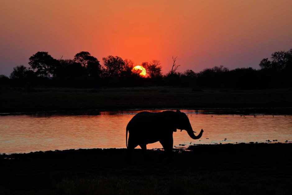 An elephant in the fading light in the Okavango Delta