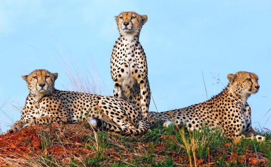 Drei Leoparden sitzen im Gebüsch