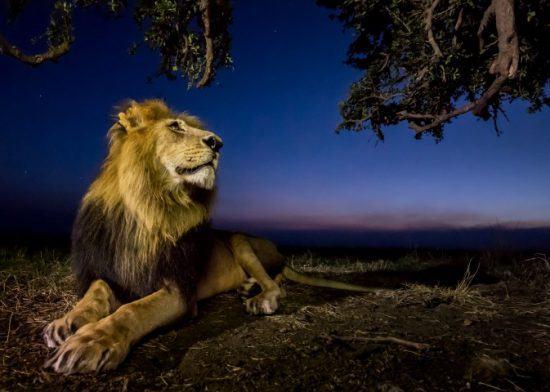 Männlicher Löwe mit stolzer Mähne liegt unter einem Baum gegen Ende eines Sonnenuntergangs - Nacht-Safari in Afrika