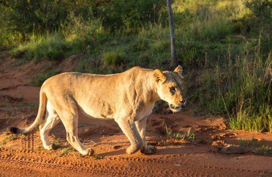 Leo caminhando na reserva Welgevonden