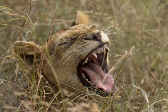 Lioness yawning in the bush.