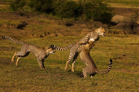 Un groupe de guépards jouent à se battre