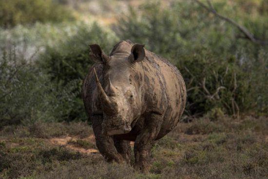 Ein mit Schlamm bedecktes Breitmaulnashorn im afrikanischen Busch