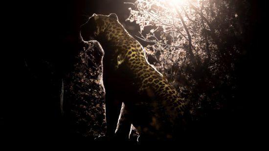 ein Leopard in der Nacht