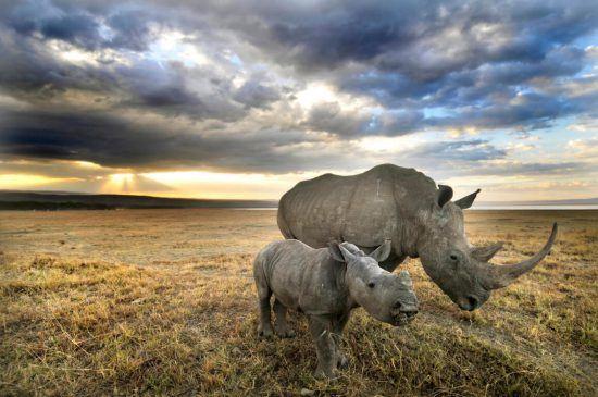 Dos rinocerontes (madre y bebé) en África