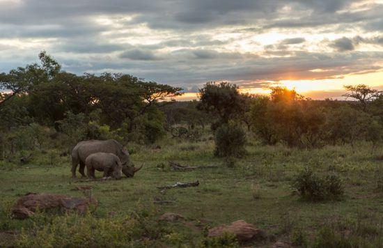 Rinocerontes caminhando durante o pôr do sol. Foto: Rhino Africa