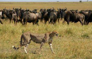 Guépard près d'un troupeau de Buffles, Mara North Conservancy